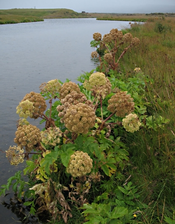 Angelica - This beautiful and nicely smelling plant is cursed by many anglers as the eternally line-eating herb.