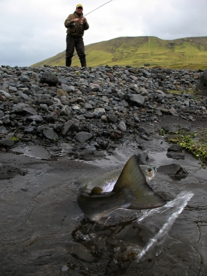 The last flip of the tail - Nils is ready to run down and grab the stranded salmon - a common way of landing these fish.