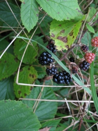 Other autumn joys - These blackberries are juts one of the many other thing you can ejoy during the late season. Rasbarries, apples, plums and many other wild fruits will be ripe and ready to eat