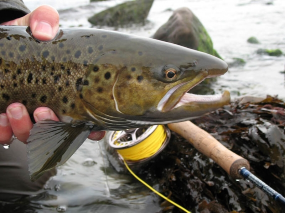 Leathery - A very brown sea trout, probably only days from entering the stream to spawn. This one was caught in very shallow water on an October day.
