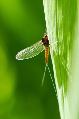 Mayfly - Spring is in the air!