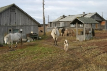 Horses - They roam the village