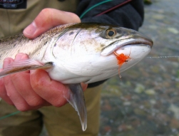 The orange version - When it's cold, the fish often get tempted by a brighter fly