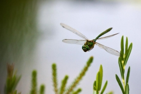 Dragonfly - Not an easy subject to photograph. Dragonflies have eyes like... eh, dragonflies!