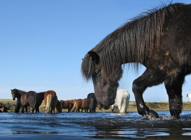 Horses - When fishing on Iceland you will most likely see more horses than fish