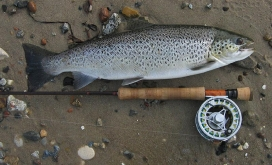 Food - A perfect sea trout taken for eating. Good size and great condition.