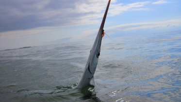 Hooked - A garfish has fallen for the deception
