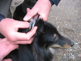 Multitool - A tool such as a Leatherman can come in handy. Here it\'s used for removing a stray fly from the dog\'s ear