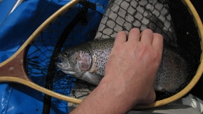 Healthy rainbows - This was the average size of the rainbows we caught - about 1½ kilos or 3 lbs.