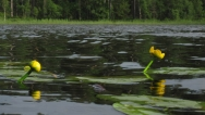Water lilies - These plants are widespread and common in most of the lakes, but don't offer any problems to the fishing