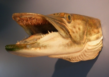 Muskie head - Wood carving