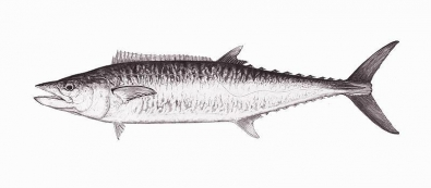 King mackerel -