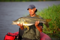 Snook - Tarpon is not the only species around