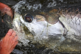 Impressing - Everything is large on on a large tarpon: mouth, eyes, gill plates, scales...