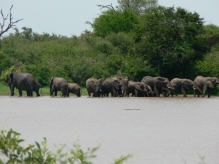 Elephants drinking at the waterside with a crocodile floating in the water half way to the elephants. -