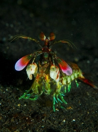 Front - A mantis shrimp from the front. Impressing and colorful