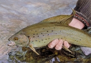 Midnight grayling -