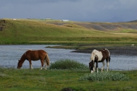 Icelandic horses - These horses are roaming on vast, fenced areas all over this island and you meet them all the time.