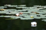 The white variety - White water lilies along the banks