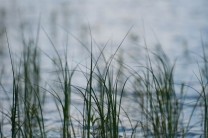 Impressionistic - Reeds in the shallows