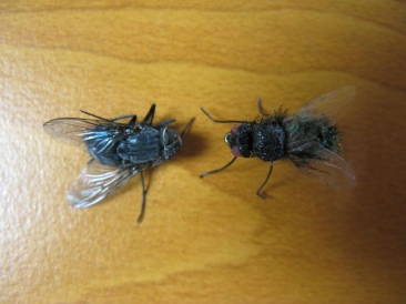 Compared - A real fly - left - and an imitation on the right showing how close the resemblance is