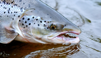 A close-up - Close-up of a Baltic salmon.