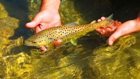 Himalayan brown - Beautiful as brown trout are almost everywhere