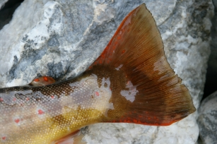 Colorful - Alpine trout are rarely big, but often colorful and truly wild.