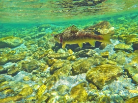 Crystal clear water and pretty wild trout - Could that be your thing? Crystal clear water and pretty wild trout.