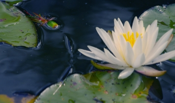 A bug in the lilys - The canoe can bring you out to those attractive lily pads far offshore
