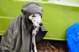 Miss June - A Dalmatian in disguise as a coastal angler in the Danish rain