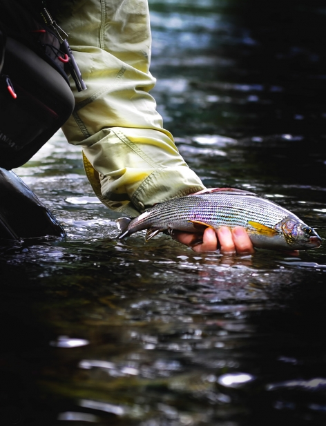 Releasing a grayling -