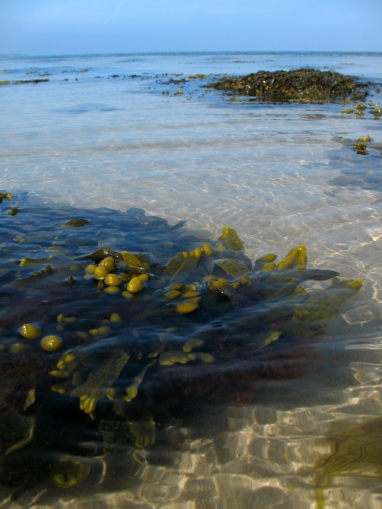 Where it starts - When the sun hits the shallow water, these sea weed patches will start buzzing with life. Sea trout food!