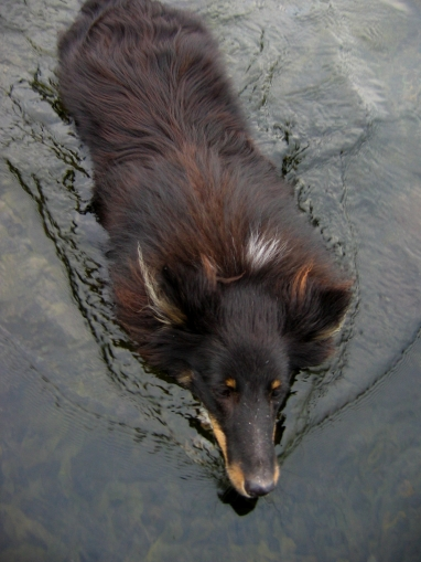 Swimming - My dog will follow me into the water if I insist, but he will become very soggy and wet from even a short swim