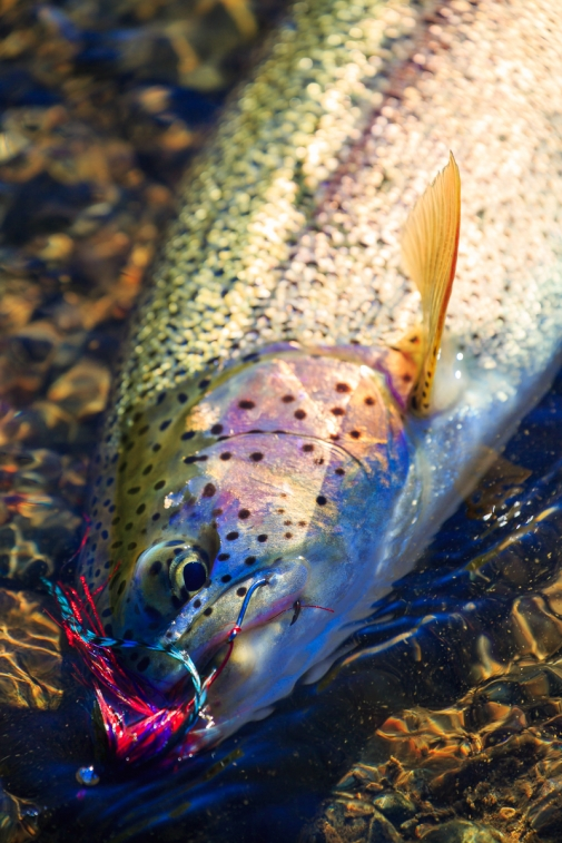 Portrait of a rainbow trout -