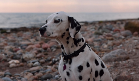 Miss June - Paul Kalbrener\'s dalmatian follows him and his wife Hilca everywhere when they are fishing