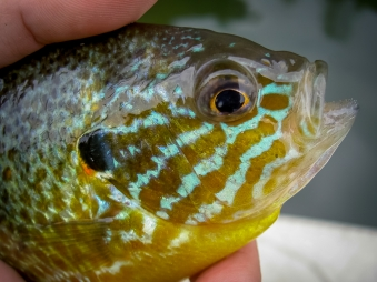 Electric - What a crazy colorful fish a Pumpkinseed is. The aqua stripes are almost metallic. They are tiny and don\'t really fight much, but they sure are pretty to look at.