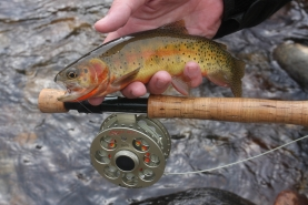 Cutthroat trout -