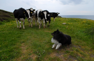 Herding - Being a sheepdog doesn\'t mean that you can\'t herd cows!