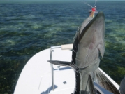 Shark suckler on the fly! -