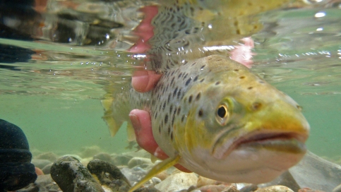 Getting away - A sea trout is ready to swim off