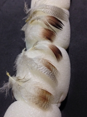 Individual feathers - In great condition, ready to be tied with