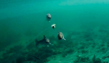 That's a fly! - And three fish chasing it. Another amazing sequence from Niels Vestergaard's videos