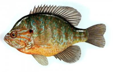 Pumpkinseed - From the book Fly-fishing\'s Final Frontier by Geoff Bernardo