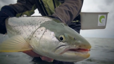 A hefty coastal trout - Caught on the fly video by Claus Eriksen