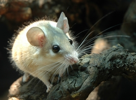 Desert mouse - The mice from arid areas often have large and almost translucent eyes (Acomys dimidiatus)