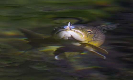 The take - A trout rising to a mayfly