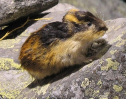Lemming - Colorful and tailless