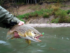 Terror regime - Another trout liked the green and red fly