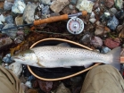 As nice as they come - A beautiful Danish sea trout